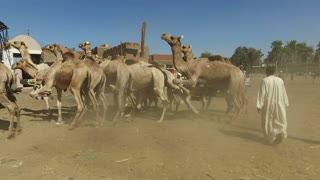 DARAW, EGYPT - FEBRUARY 6, 2016: Local camel salesmen on Camel market using stick to control them.