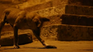 Dog curiously approaching a dead mouse at a street in night time.