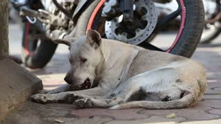 Dog laying on a street of Mumbai next to a motorcycle.