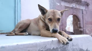 Dog laying on the wall in front of indian house in Jodhpur.