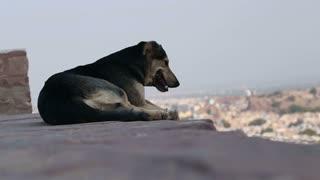 Dog laying on the wall watching cityscape beneath, closeup.