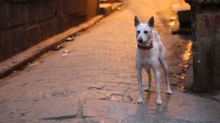 Dog standing in a street in Varanasi and barking before leaving.