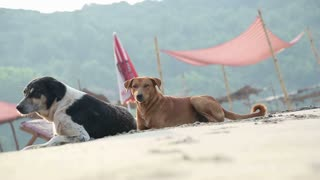 Dogs laying on a sandy beach by the deck chairs.