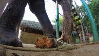 Elephant in natural surroundings chewing banana tree trunk.