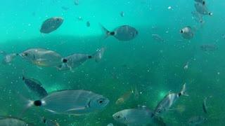 Fish eating frenzy shot underwater