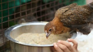GOA, INDIA - 21 JANUARY 2015: Young chicken kept in cage eating seeds from a bowl.