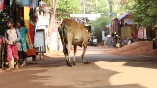 GOA, INDIA - 26 JANUARY 2015: Cow walking down the street while vehicles and kids pass by.