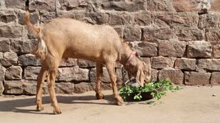 Goat chewing grass in front of bricked wall.