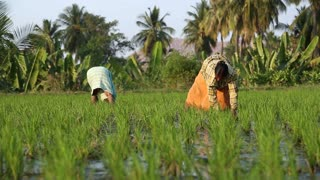 HAMPI, INDIA - 28 JANUARY 2015: Close view of two women working on the rice fields in Hampi, India.