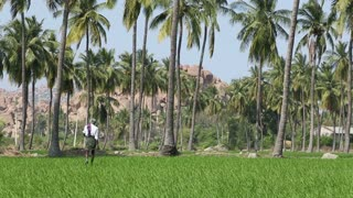 HAMPI, INDIA - 28 JANUARY 2015: Man walks through rice fields in Hampi.