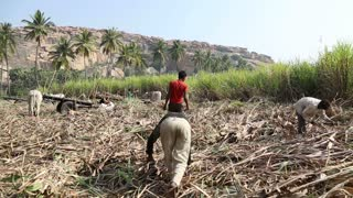 HAMPI, INDIA - 28 JANUARY 2015: People working in sugarcane fields in Hampi.