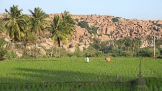 HAMPI, INDIA - 28 JANUARY 2015: Two farmers working in rice field in Hampi.