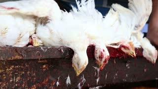 Heads of slaughtered chicken hanging in workshop in Varanasi.