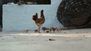 Hen walking with her chicks in backyard in Hampi.