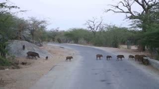 Herd of wild pigs crossing a rural road in Jodhpur.