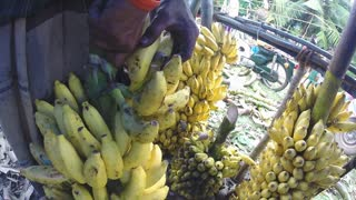 HIKKADUWA, SRI LANKA - MARCH 2014: View of man moving hanging juicy bananas at the local market.