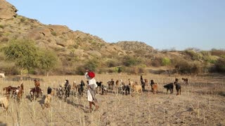 JODHPUR, INDIA - 13 FEBRUARY 2015: Indian cattle keeper at field with cattle pasturing aside.