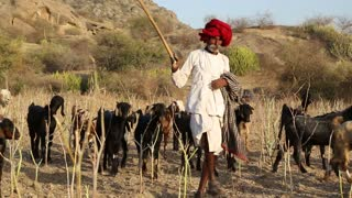 JODHPUR, INDIA - 13 FEBRUARY 2015: Indian cattle keeper walking down the field with cattle pasturing aside.