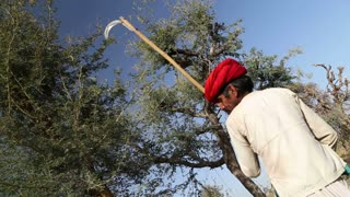 JODHPUR, INDIA - 13 FEBRUARY 2015: Man cutting tree branches for cattle on treetop at countryside in Jodhpur.