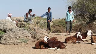JODHPUR, INDIA - 13 FEBRUARY 2015: Young cattle keepers standing by cattle lying at field in Jodhpur.