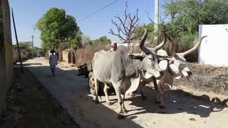 JODHPUR, INDIA - 14 FEBRUARY 2015: Cattle standing at the road in Jodhpur while male keeper approaches them.