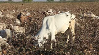 JODHPUR, INDIA - 14 FEBRUARY 2015: Cow pasturing among dry branches at field in Jodhpur.