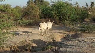 JODHPUR, INDIA - 14 FEBRUARY 2015: Cows walking down the rural road in Jodhpur.