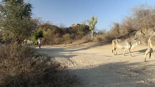 JODHPUR, INDIA - 14 FEBRUARY 2015: Man carrying branches and cows passing down the sandy road in Jodhpur.
