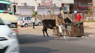 JODHPUR, INDIA - 5 FEBRUARY 2015: Cow standing on the road in city eating from trash bin.