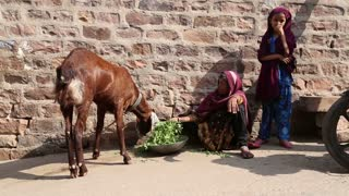 JODHPUR, INDIA - 5 FEBRUARY 2015: Goat chewing grass in front of bricked wall.