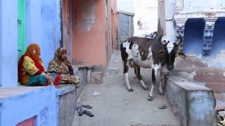JODHPUR, INDIA - 5 FEBRUARY 2015: Two old women sitting in front of house and cow walking by in street