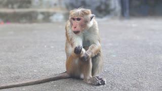 Monkey near the Golden Temple of Dambulla. The Golden Temple of Dambulla is a World Heritage Site in Sri Lanka.