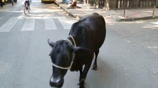 MUMBAI, INDIA - 10 JANUARY 2015: Black cow passing the street in Mumbai, close up.