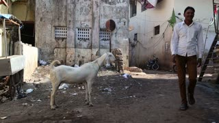 MUMBAI, INDIA - 12 JANUARY 2015: Goat standing at street in Mumbai, while men stand by.