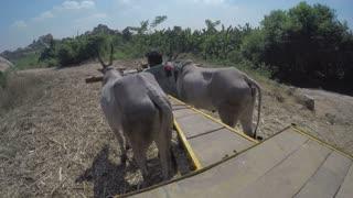 MUMBAI, INDIA - 13 JANUARY 2015: Man bringing cows to field for pasture.