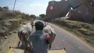 MUMBAI, INDIA - 13 JANUARY 2015: Man driving in vehicle impeding cattle down the rural road.