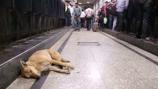 MUMBAI, INDIA - 14 JANUARY 2015: Dog laying on the floor of a crowded train station in Mumbai.