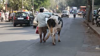 MUMBAI, INDIA - 9 JANUARY 2015: Back view of a man leading a cow on a leash through a busy street in Mumbai