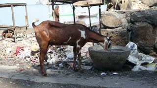 MUMBAI, INDIA - 9 JANUARY 2015: Goat drinking from a stone bowl on a street in Mumbai while people pass by.