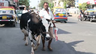 MUMBAI, INDIA - 9 JANUARY 2015: Man leading a cow on a leash through a busy street in Mumbai.