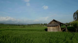 Paddy fields and rice grass moving in the wind with little hut in foreground