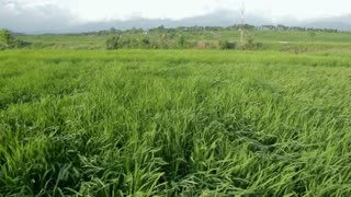 Paddy fields and rice grass moving in the wind