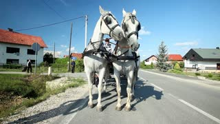 Pair of beautiful white horses waiting and resting on the road