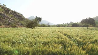Panoramic view of sunny wheat field in Jodhpur.