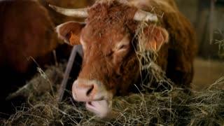 Salers cow eating hay in barn in France