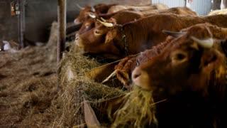 Salers cows eating hay in barn in France