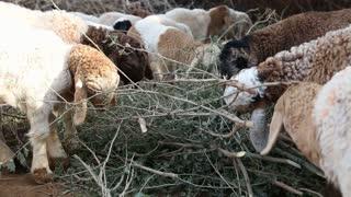 Sheep pasturing dry branches at farm in Jodhpur.
