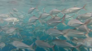 Shoal of jack fish in tulemben in Bali, Indonesia