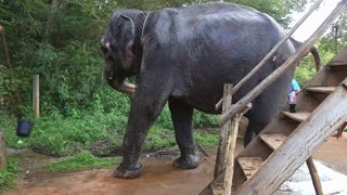 SIGIRIYA, SRI LANKA - FEBRUARY 2014: Elephant in Sigiriya. These old elephants are retired from log working and converted to amusing tourists.
