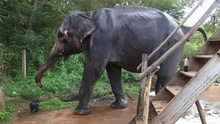 SIGIRIYA, SRI LANKA - FEBRUARY 2014: Elephant refreshing itself with water in Sigiriya. These old elephants are retired from log working and converted to amusing tourists.